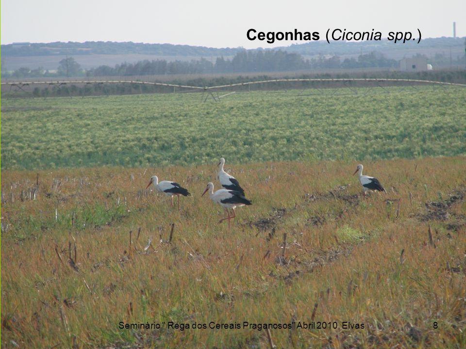 Grous (Grus grus) Seminário Rega dos Cereais Praganosos Abril 2010, Elvas9 Gabriela Cruz