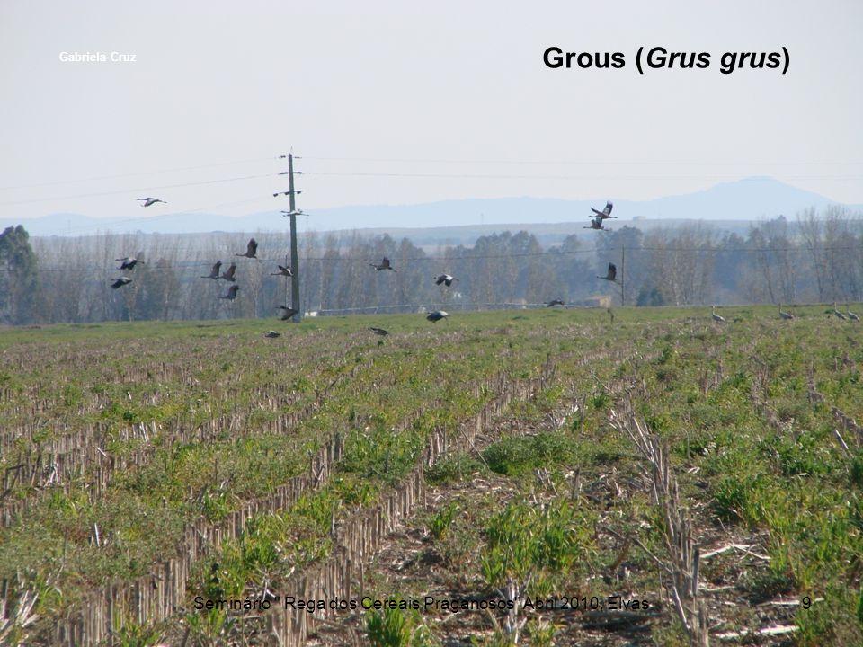 Grous (Grus grus) Seminário