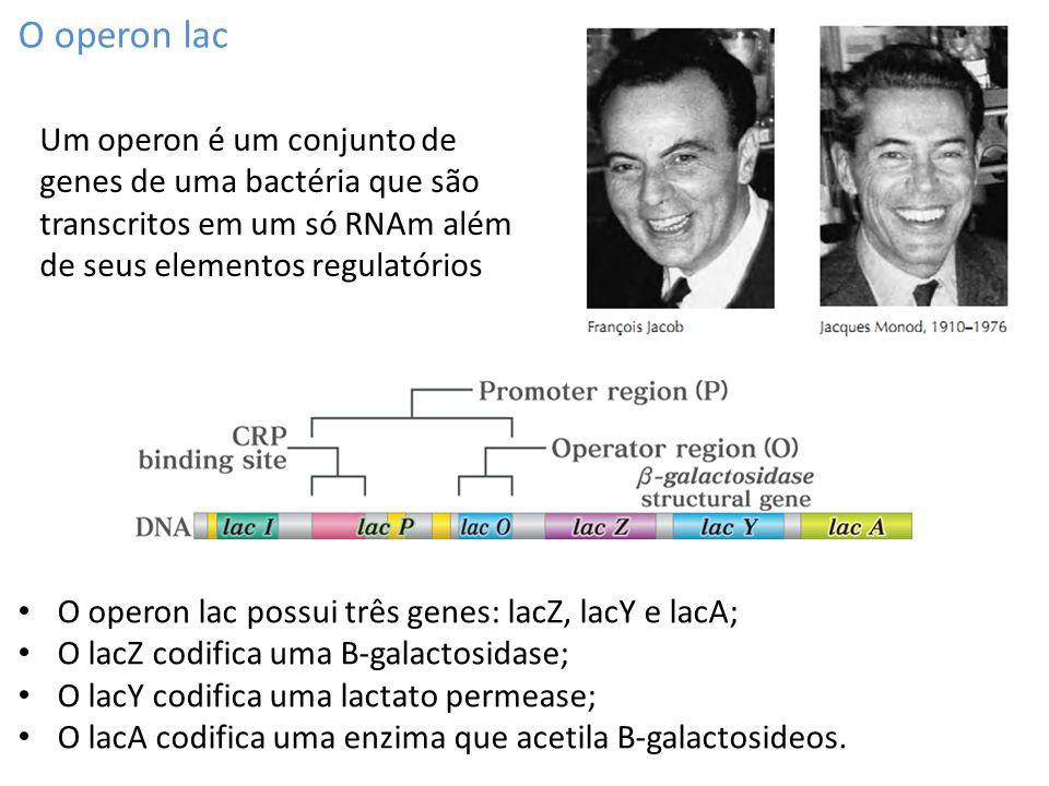 O operon lac O operon lac possui três genes: lacZ, lacY e lacA; O lacZ codifica uma B-galactosidase; O lacY codifica uma lactato permease; O lacA codi