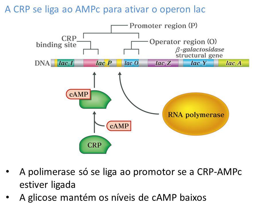 A CRP se liga ao AMPc para ativar o operon lac A polimerase só se liga ao promotor se a CRP-AMPc estiver ligada A glicose mantém os níveis de cAMP bai