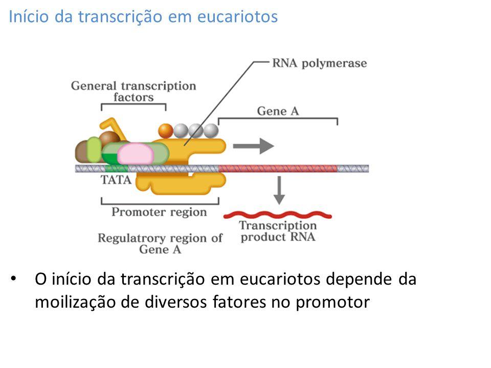 Início da transcrição em eucariotos O início da transcrição em eucariotos depende da moilização de diversos fatores no promotor