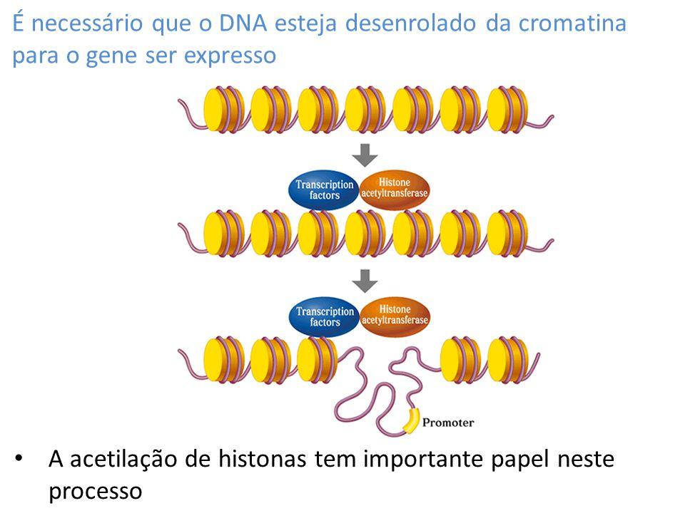 É necessário que o DNA esteja desenrolado da cromatina para o gene ser expresso A acetilação de histonas tem importante papel neste processo
