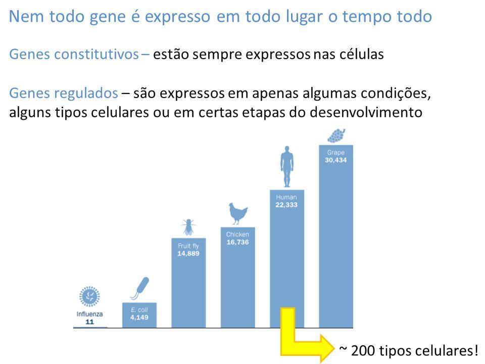 Nem todo gene é expresso em todo lugar o tempo todo Genes constitutivos – estão sempre expressos nas células Genes regulados – são expressos em apenas