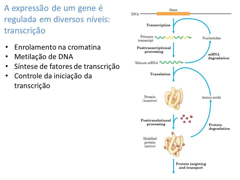 A expressão de um gene é regulada em diversos níveis: transcrição Enrolamento na cromatina Metilação de DNA Síntese de fatores de transcrição Controle