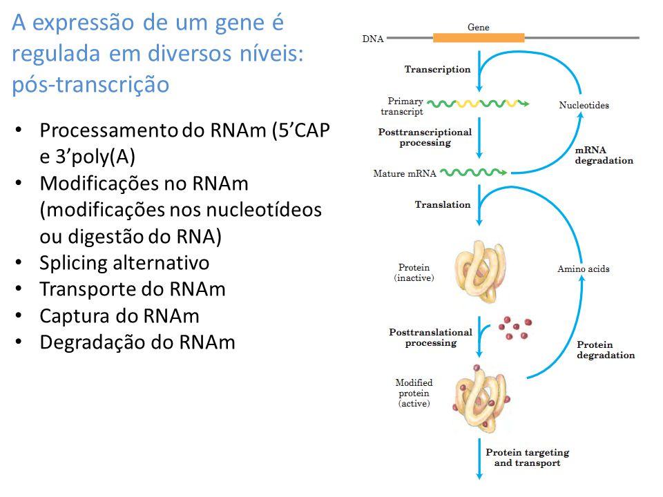 A expressão de um gene é regulada em diversos níveis: pós-transcrição Processamento do RNAm (5CAP e 3poly(A) Modificações no RNAm (modificações nos nu