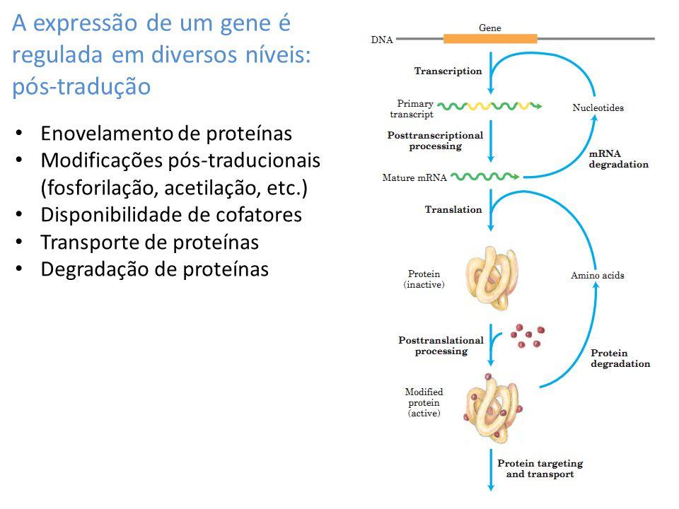 A expressão de um gene é regulada em diversos níveis: pós-tradução Enovelamento de proteínas Modificações pós-traducionais (fosforilação, acetilação,