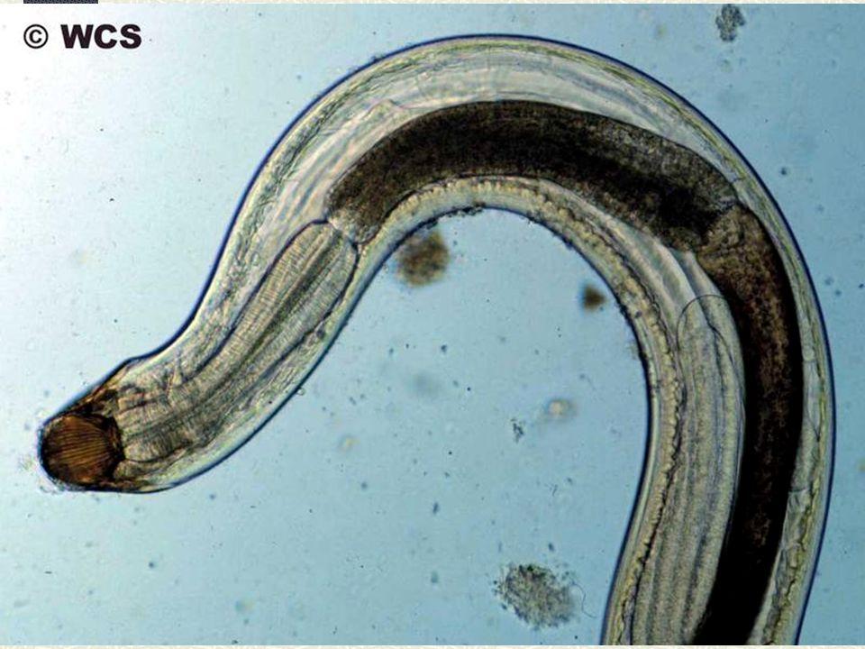 Filo NEMATODA 25 mil espécies conhecidas Amplamente distribuídos – mar, água doce, solo, muitas espécies parasitas Dos polos aos trópicos, inclusive desertos, grandes altitudes e grandes profundidades Água até 53 ºC.
