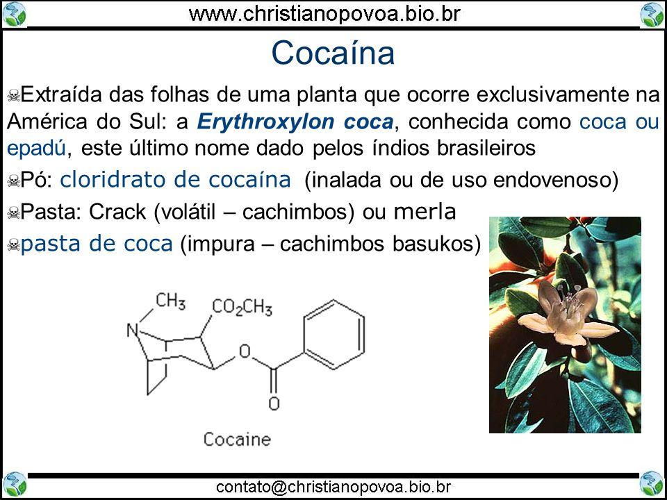 Cocaína Extraída das folhas de uma planta que ocorre exclusivamente na América do Sul: a Erythroxylon coca, conhecida como coca ou epadú, este último