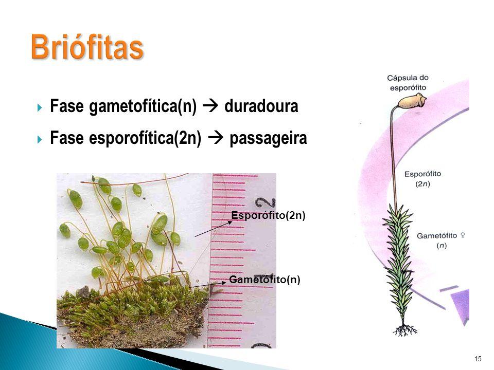 Fase gametofítica(n) duradoura Fase esporofítica(2n) passageira 15 Esporófito(2n) Gametófito(n)