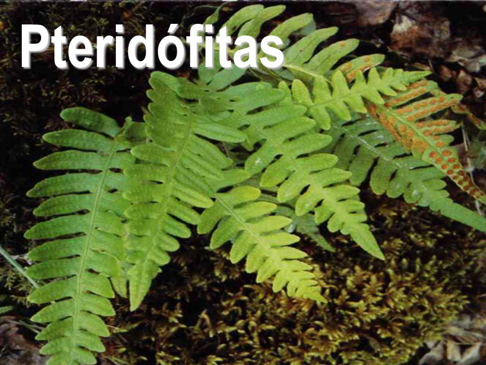 Reino Plantae - Prof. Giseli Trento Andrade e Silva18 Pteridófitas