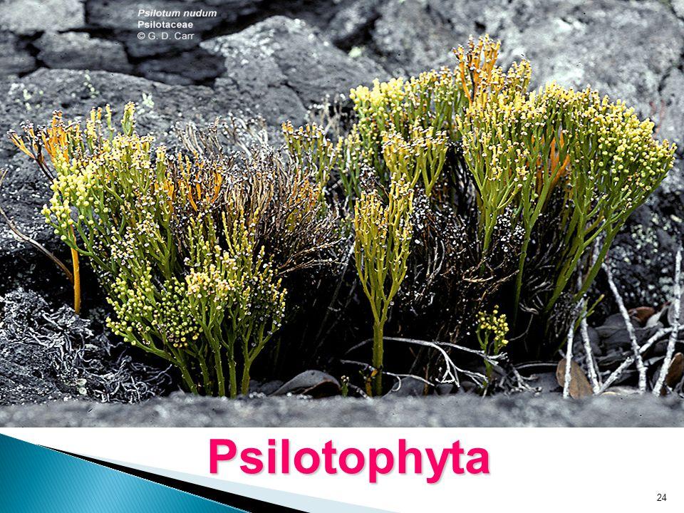 24 Psilotophyta
