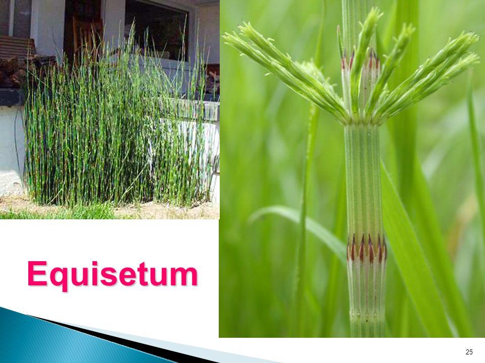 25 Equisetum