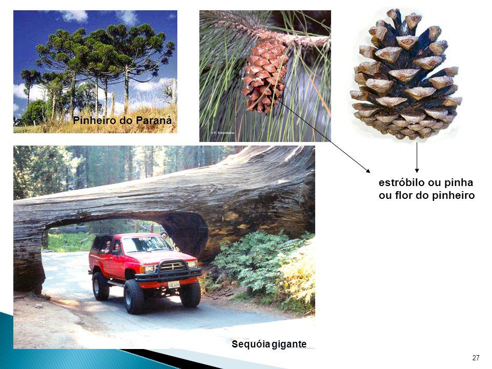 27 Pinheiro do Paraná estróbilo ou pinha ou flor do pinheiro Sequóia gigante