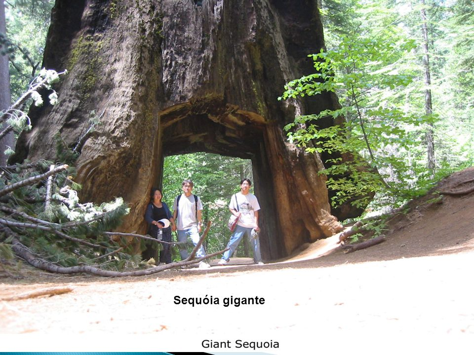 Reino Plantae - Prof. Giseli Trento Andrade e Silva28 Sequóia gigante