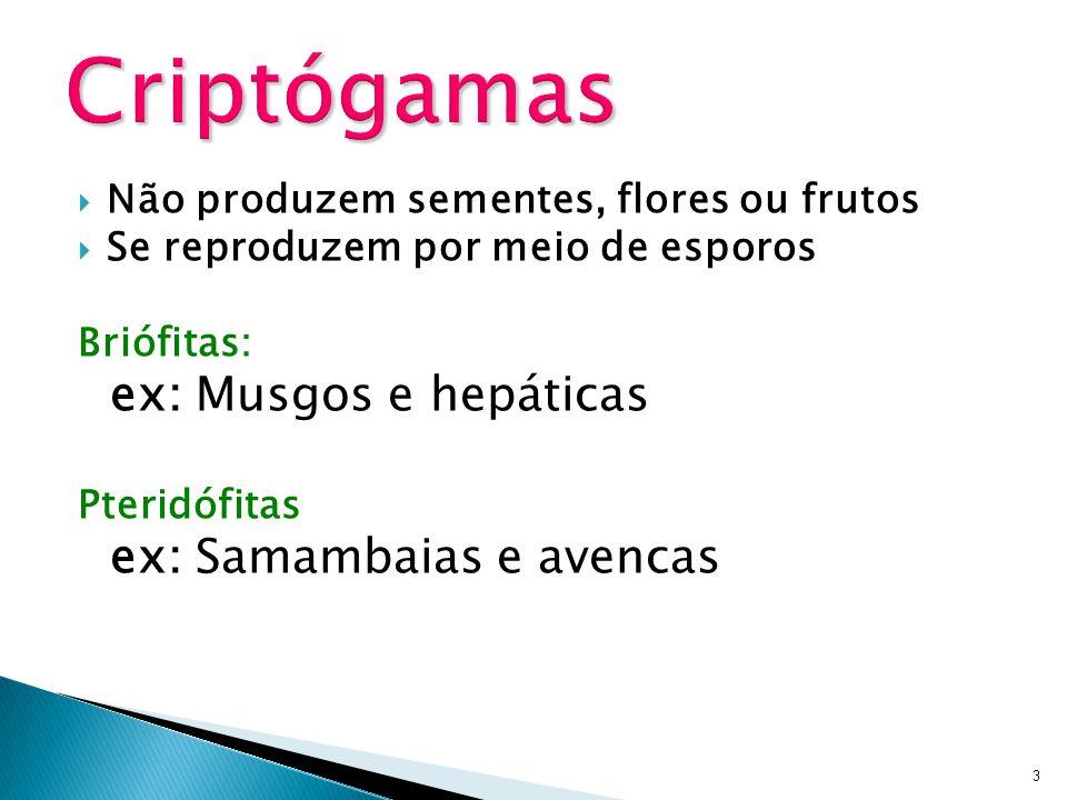 Não produzem sementes, flores ou frutos Se reproduzem por meio de esporos Briófitas: ex: Musgos e hepáticas Pteridófitas ex: Samambaias e avencas 3