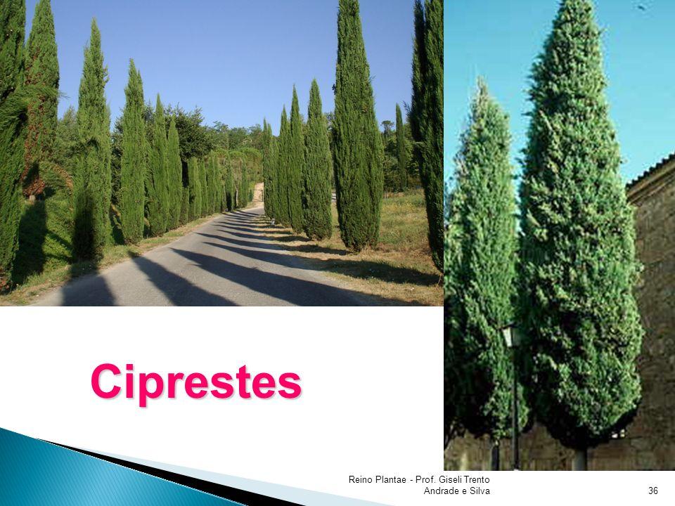 Reino Plantae - Prof. Giseli Trento Andrade e Silva36 Ciprestes