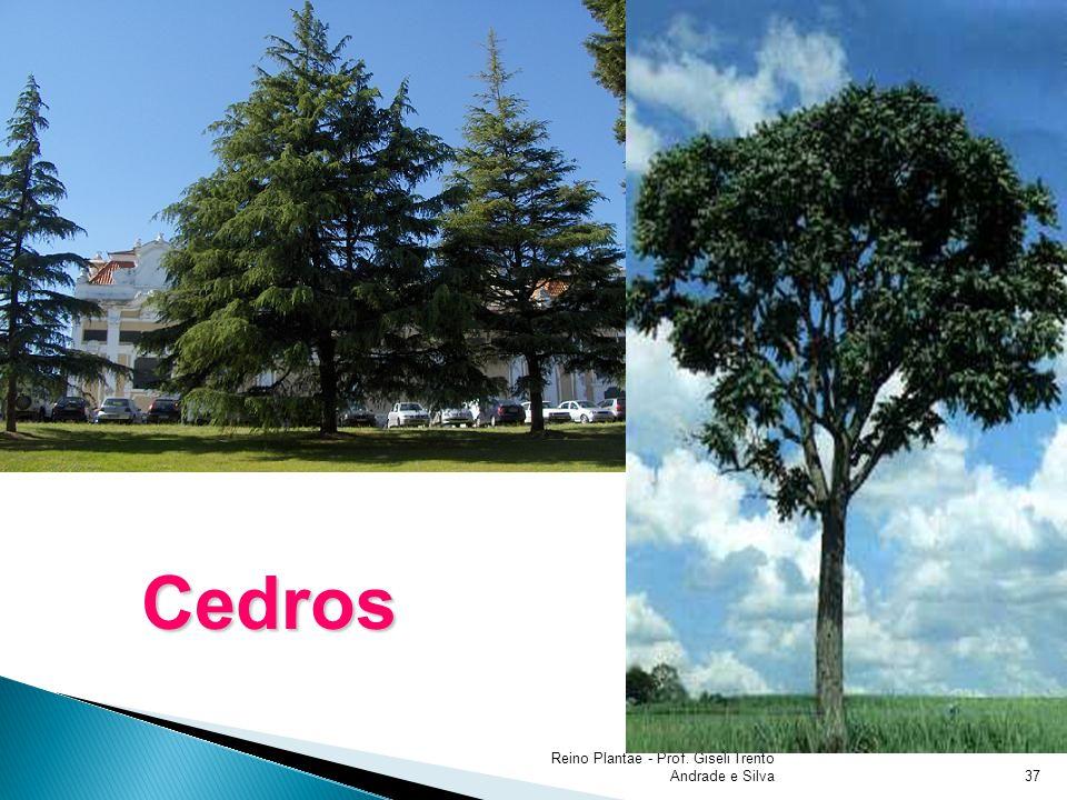 Reino Plantae - Prof. Giseli Trento Andrade e Silva37 Cedros