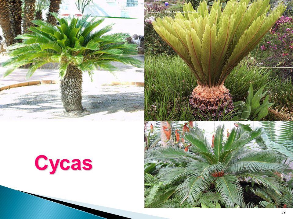 39 Cycas