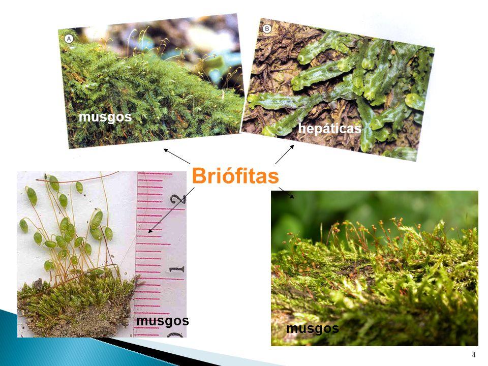 4 Briófitas musgos hepáticas musgos