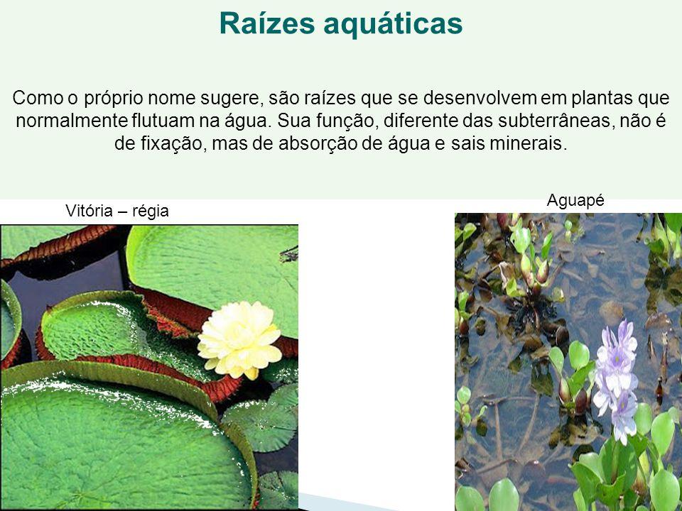 50 Raízes aquáticas Como o próprio nome sugere, são raízes que se desenvolvem em plantas que normalmente flutuam na água. Sua função, diferente das su