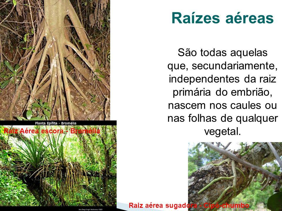 51 Raízes aéreas São todas aquelas que, secundariamente, independentes da raiz primária do embrião, nascem nos caules ou nas folhas de qualquer vegeta