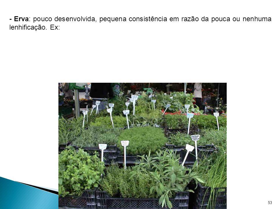 Reino Plantae - Prof. Giseli Trento Andrade e Silva53 - Erva: pouco desenvolvida, pequena consistência em razão da pouca ou nenhuma lenhificação. Ex: