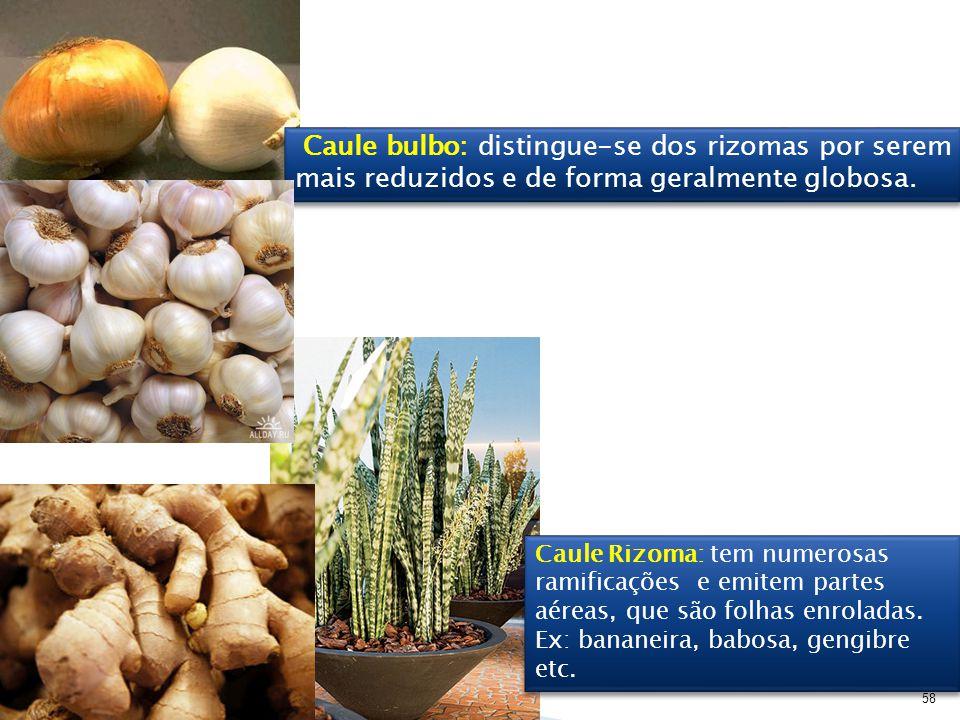 58 Caule Rizoma: tem numerosas ramificações e emitem partes aéreas, que são folhas enroladas. Ex: bananeira, babosa, gengibre etc. Caule Rizoma: tem n