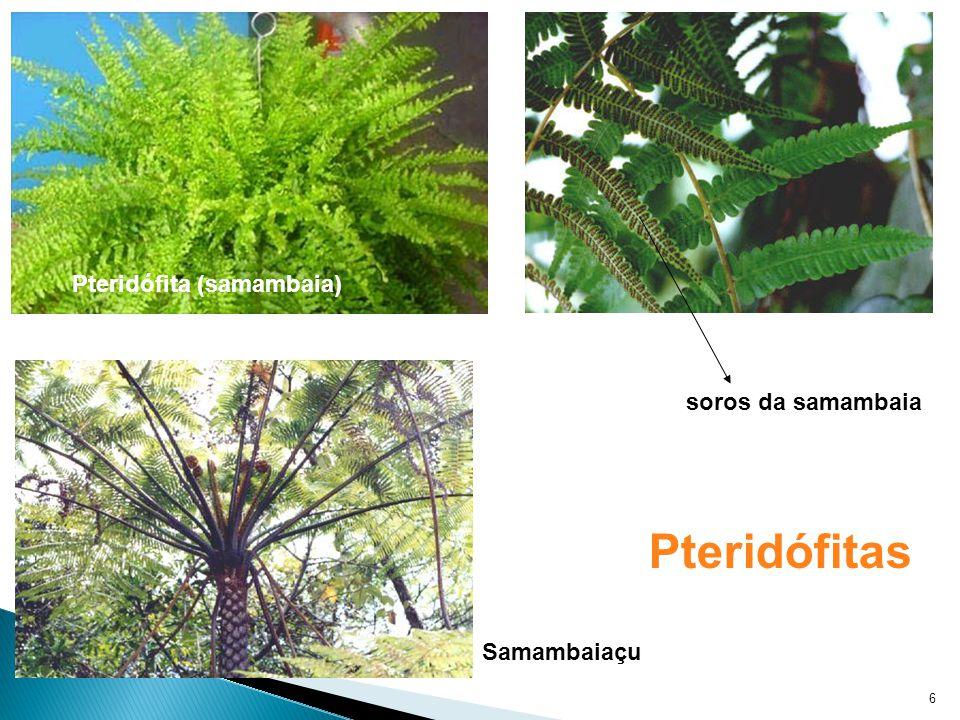 6 Pteridófita (samambaia) soros da samambaia Samambaiaçu Pteridófitas