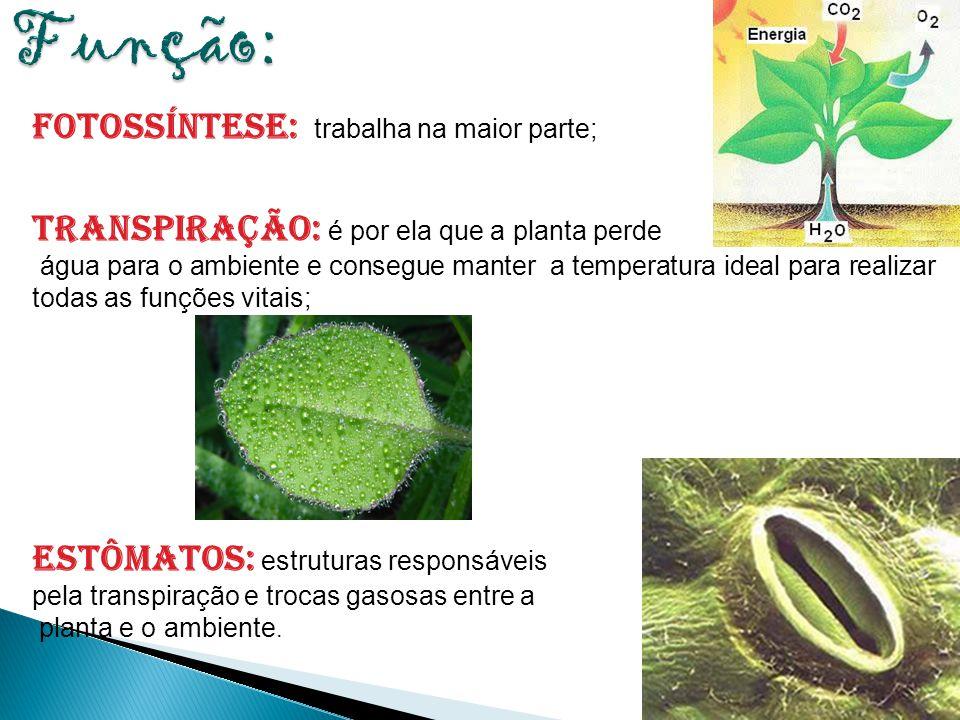 61 Fotossíntese: trabalha na maior parte; Transpiração: é por ela que a planta perde água para o ambiente e consegue manter a temperatura ideal para r