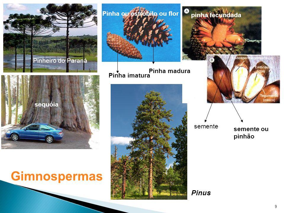 9 sequóia Pinheiro do Paraná Pinha imatura Pinha madura Pinha ou estróbilo ou flor pinha fecundada semente semente ou pinhão Pinus Gimnospermas