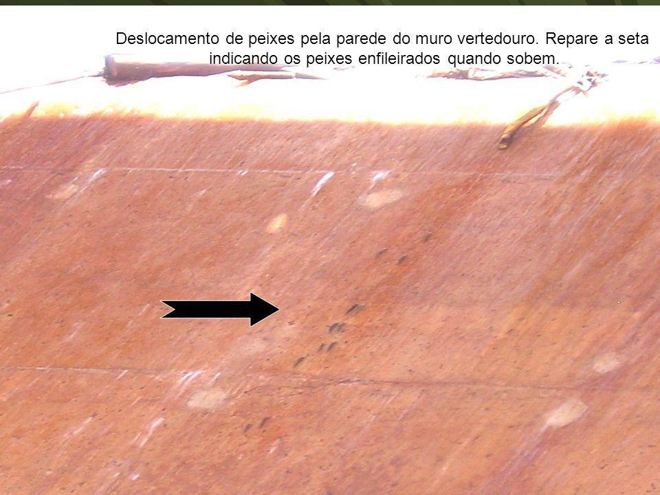 Deslocamento de peixes pela parede do muro vertedouro. Repare a seta indicando os peixes enfileirados quando sobem.
