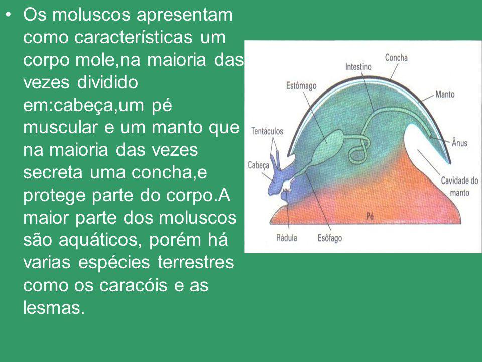 Os moluscos têm a concha como se fosse o esqueleto ela é feita de cálcio, ou seja, é uma concha calcaria, alguns dos moluscos tem essa concha, e outros não como os polvos, a lula por sua vez tem a concha interna.