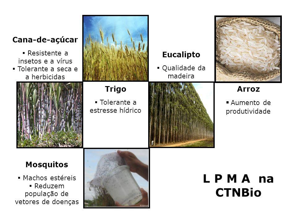Cana-de-açúcar Resistente a insetos e a vírus Tolerante a seca e a herbicidas Trigo Tolerante a estresse hídrico Eucalipto Qualidade da madeira Arroz