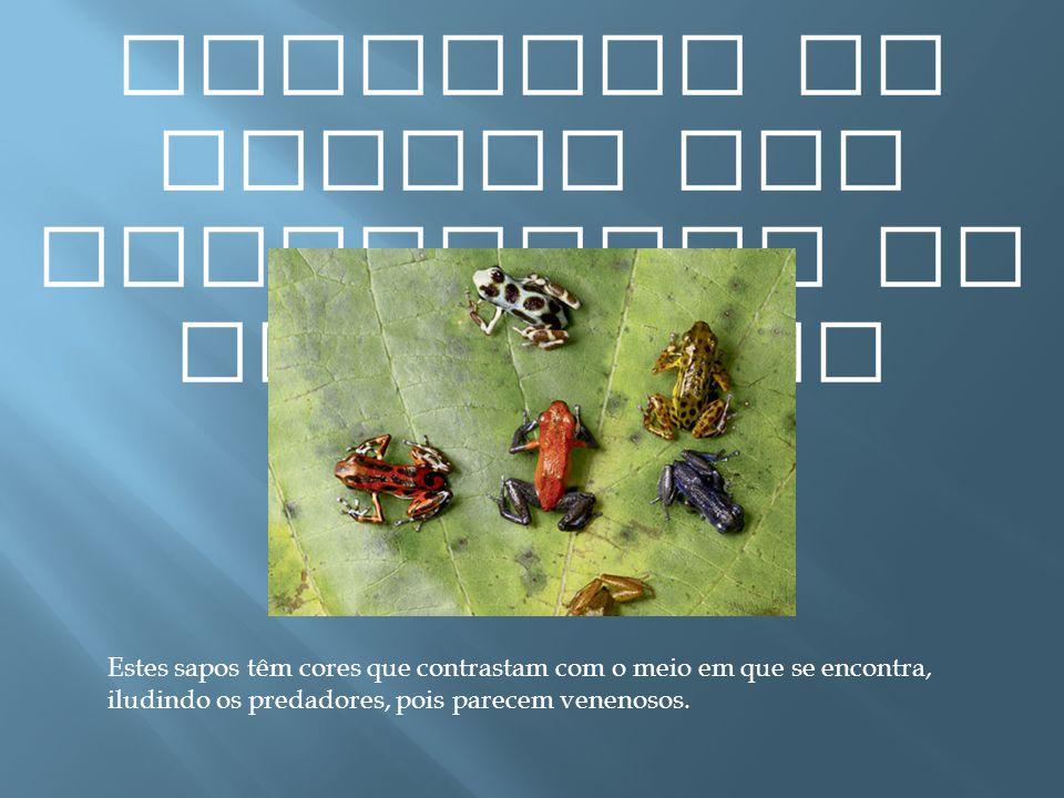 Exemplos de presas com capacidade de mimetismo Estes sapos têm cores que contrastam com o meio em que se encontra, iludindo os predadores, pois parece