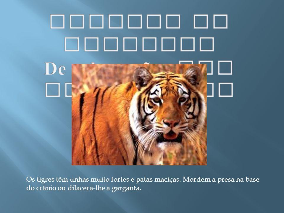 Os tigres têm unhas muito fortes e patas maciças. Mordem a presa na base do crânio ou dilacera-lhe a garganta.