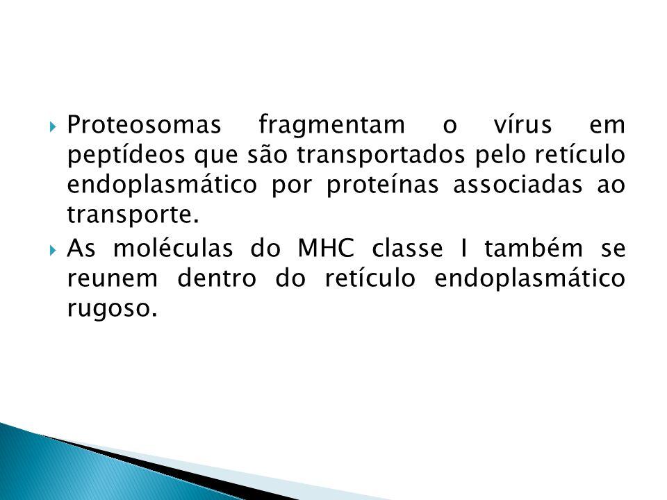 Proteosomas fragmentam o vírus em peptídeos que são transportados pelo retículo endoplasmático por proteínas associadas ao transporte. As moléculas do