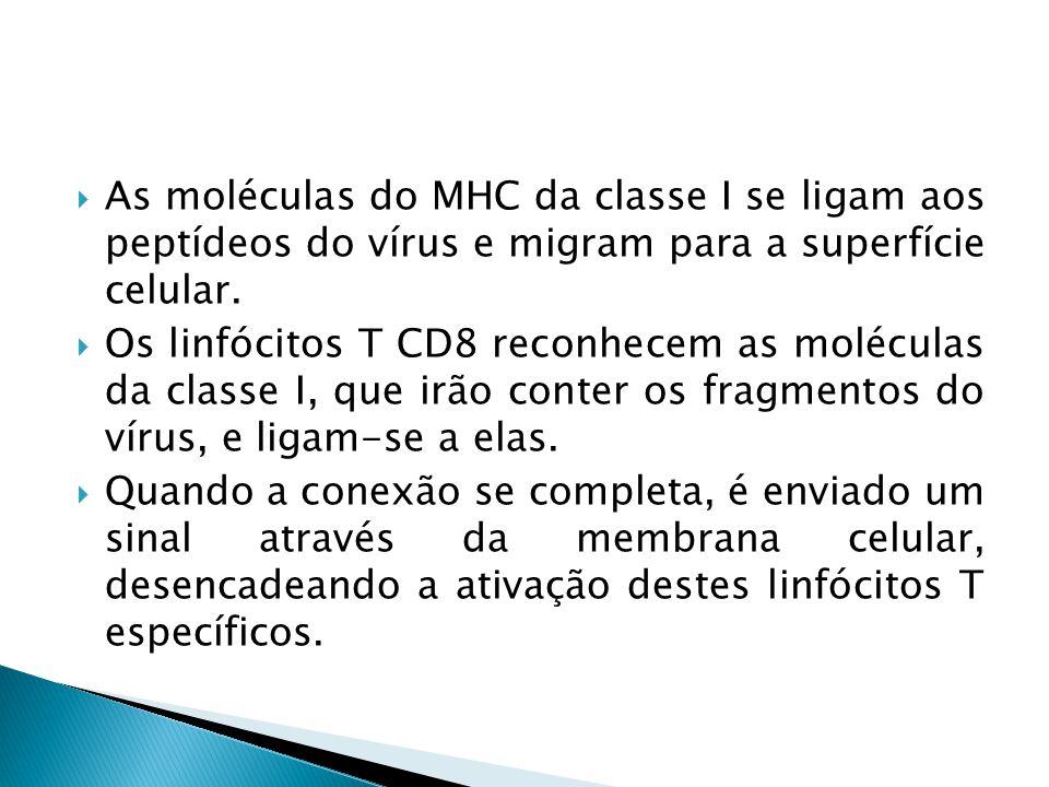 As moléculas do MHC da classe I se ligam aos peptídeos do vírus e migram para a superfície celular. Os linfócitos T CD8 reconhecem as moléculas da cla