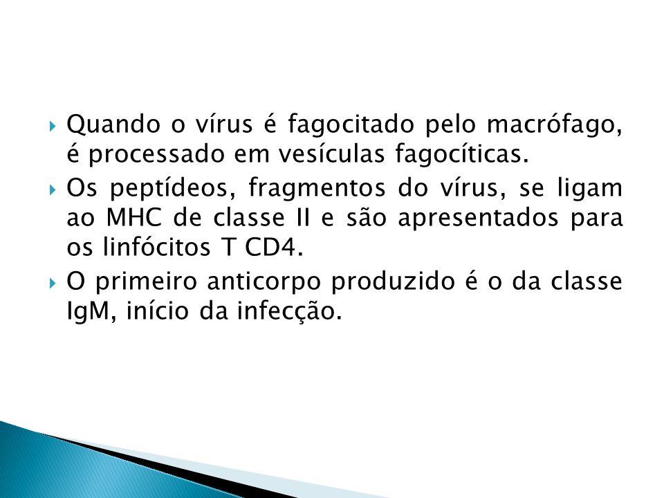 Quando o vírus é fagocitado pelo macrófago, é processado em vesículas fagocíticas. Os peptídeos, fragmentos do vírus, se ligam ao MHC de classe II e s