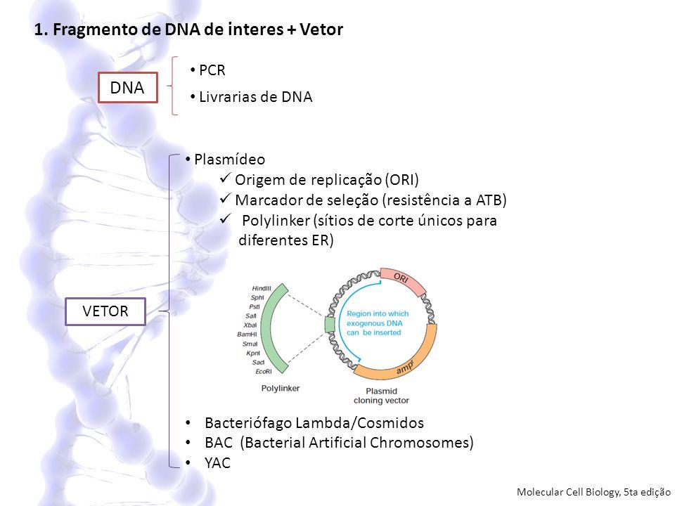 1. Fragmento de DNA de interes + Vetor DNA PCR Livrarias de DNA VETOR Plasmídeo Origem de replicação (ORI) Marcador de seleção (resistência a ATB) Pol