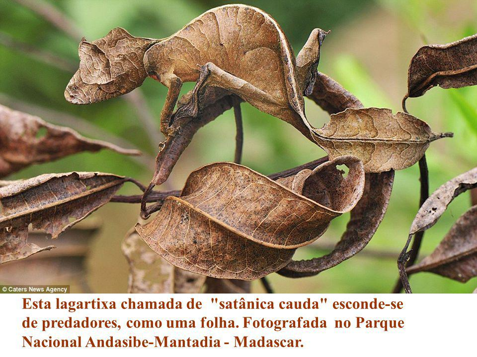 Esta lagartixa chamada de satânica cauda esconde-se de predadores, como uma folha.