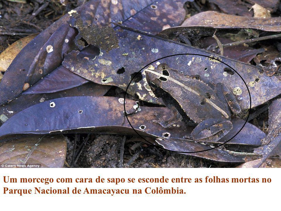 Um morcego com cara de sapo se esconde entre as folhas mortas no Parque Nacional de Amacayacu na Colômbia.