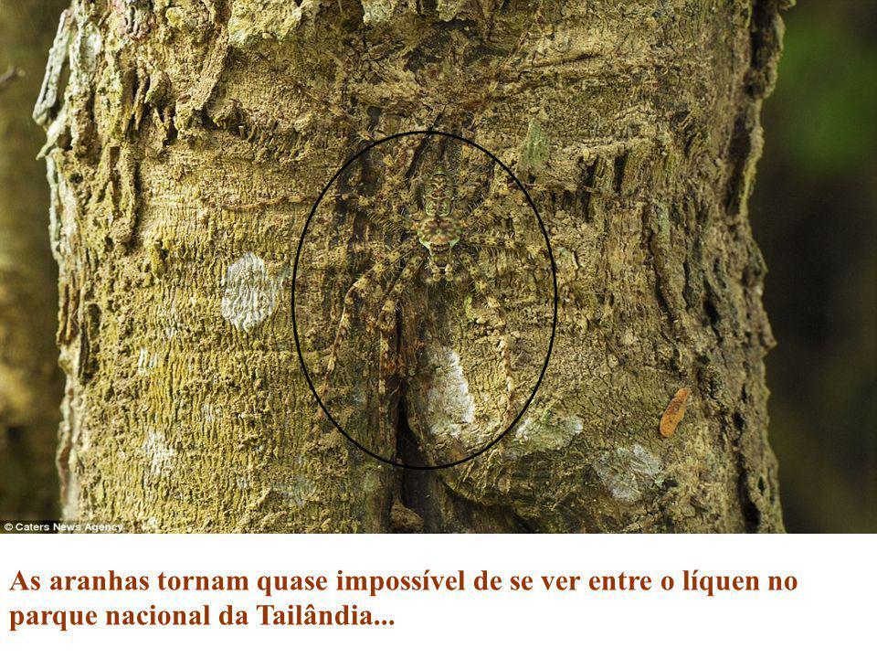 As aranhas tornam quase impossível de se ver entre o líquen no parque nacional da Tailândia...
