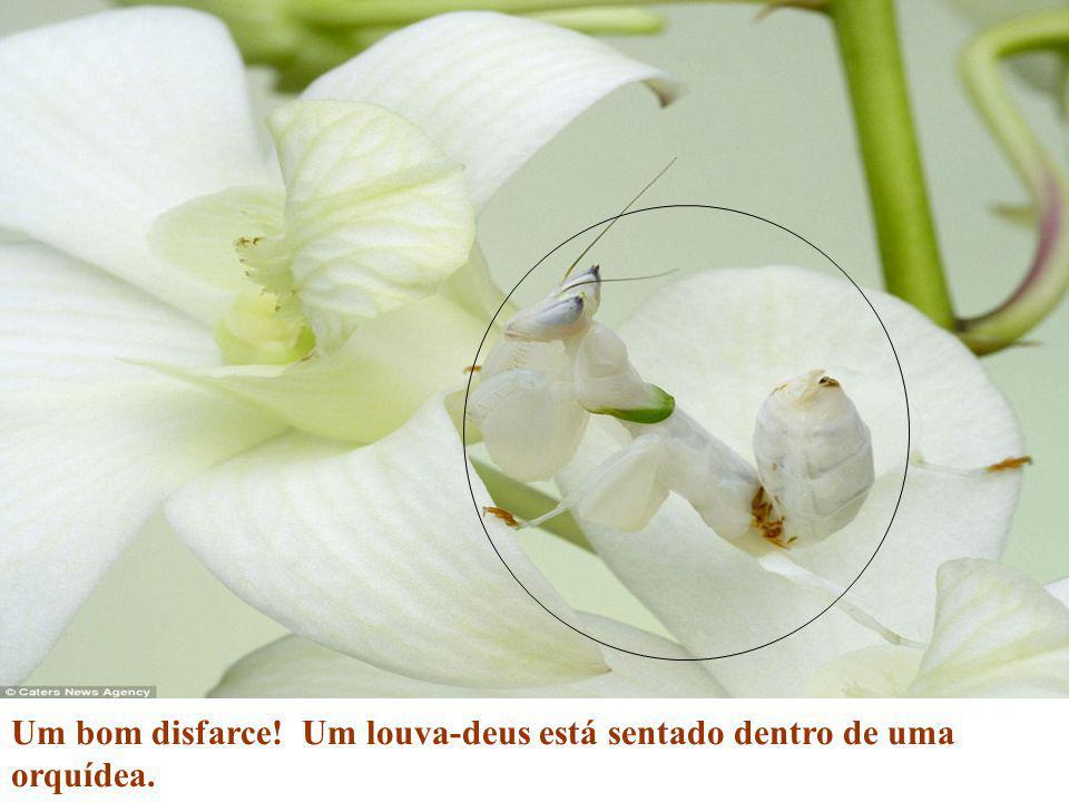 Um bom disfarce! Um louva-deus está sentado dentro de uma orquídea.