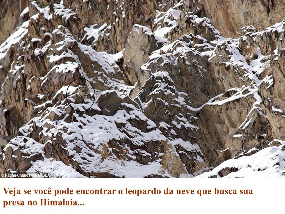 Veja se você pode encontrar o leopardo da neve que busca sua presa no Himalaia...
