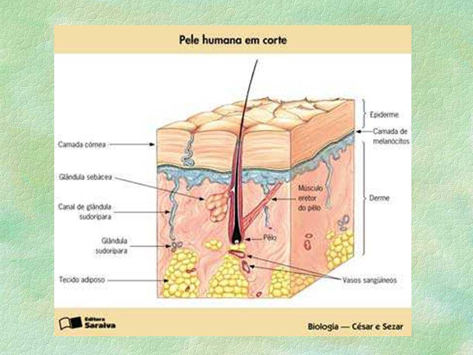 Especializado em revestir e proteger as superfícies do organismo, os tecidos epiteliais são formados por células justapostas. Geralmente, as células d