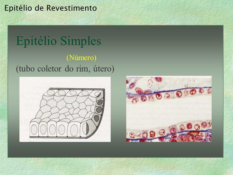 Epitélio de Revestimento Epitélio Simples (Número) * (intestino)