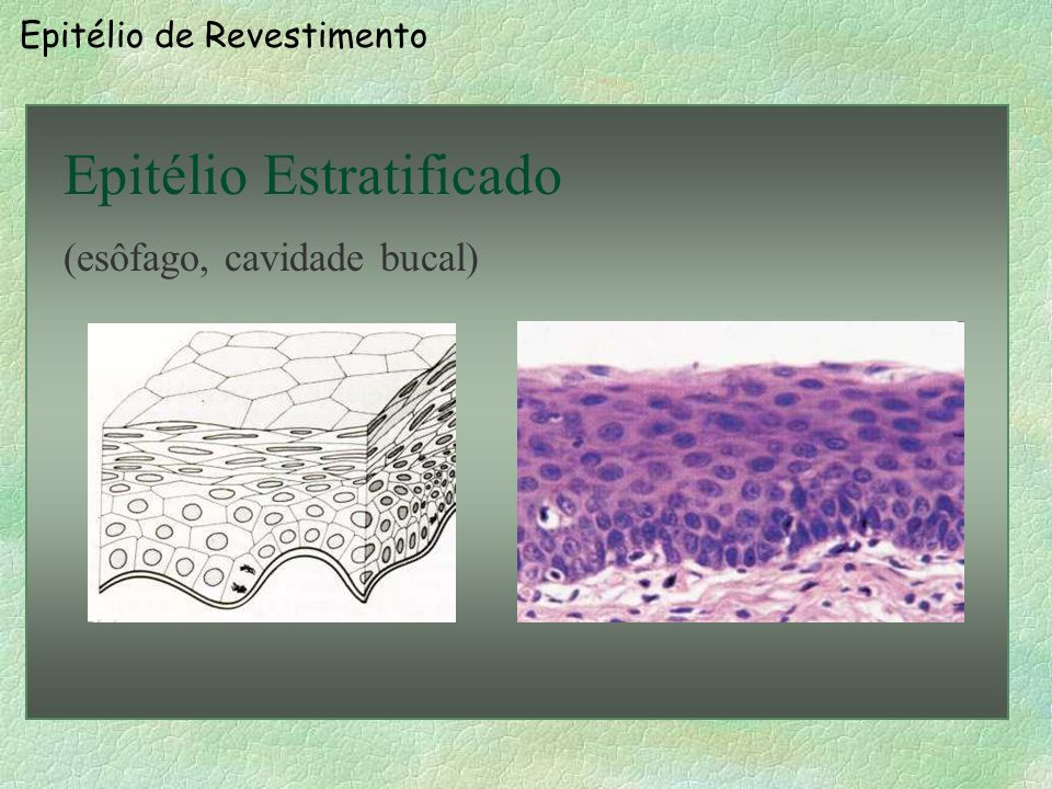 Epitélio de Revestimento Epitélio Simples (Número) (tubo coletor do rim, útero)