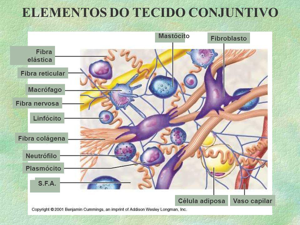Tecido Conjuntivo §Morfologicamente, os tecidos conjuntivos caracterizam-se por apresentar diversos tipos celulares separados por abundante material i