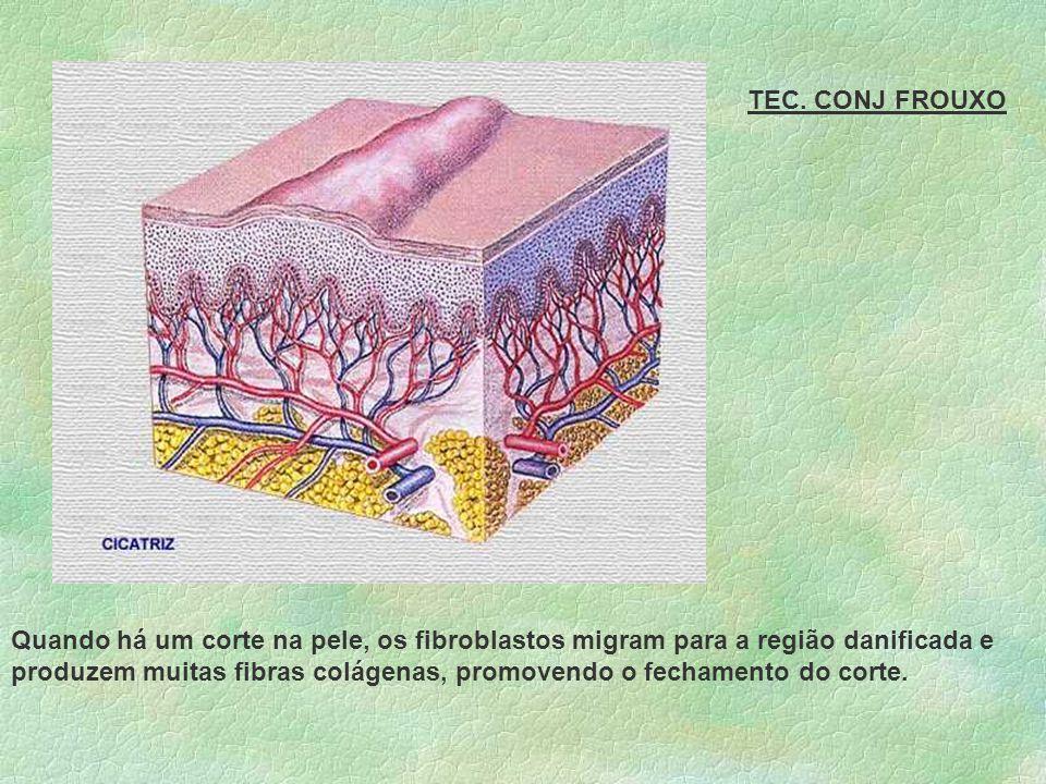 CÉLULAS DO TCPD - FROUXO FIBROBLASTOS Origina fibrócitos Apresenta forma estrelada Produzem fibras e substância amorfa.
