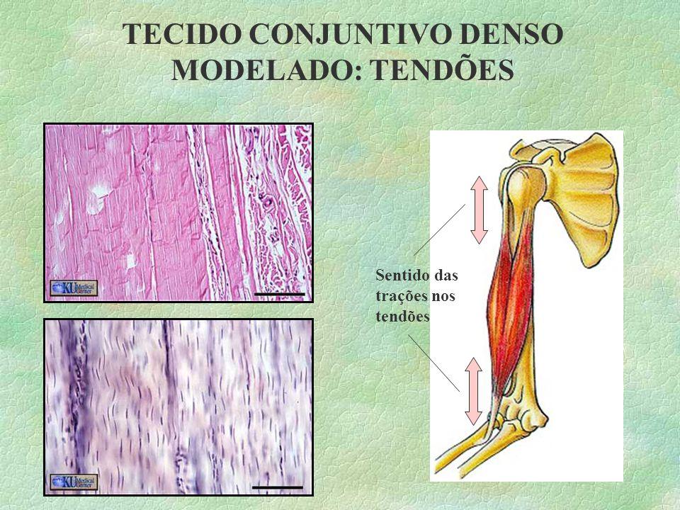 Quando há um corte na pele, os fibroblastos migram para a região danificada e produzem muitas fibras colágenas, promovendo o fechamento do corte. TEC.